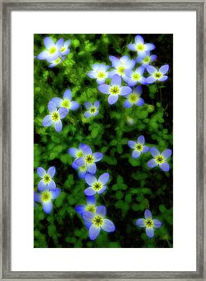 Bluets Framed Print by Tony Gayhart