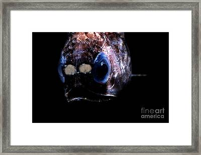 Blunt Face Lampfish Framed Print by Dante Fenolio