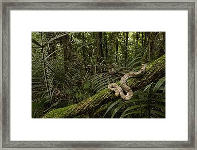 Boa Constrictor Boa Constrictor Coiled Framed Print by Pete Oxford
