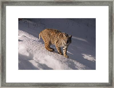 Bobcat Felis Rufus Prowls Over The Snow Framed Print by Dr. Maurice G. Hornocker