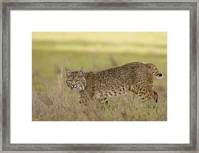 Bobcat Female Walking Santa Cruz Framed Print by Sebastian Kennerknecht