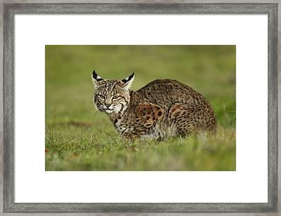 Bobcat Juvenile Santa Cruz California Framed Print by Sebastian Kennerknecht