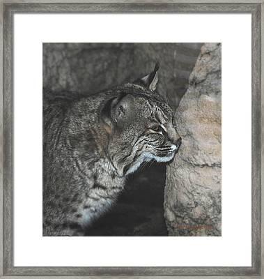 Bobcat Love II Framed Print by DiDi Higginbotham