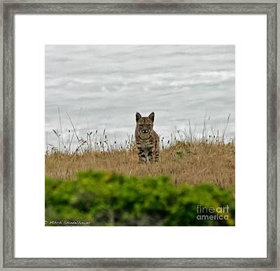 Bodega Bay Bobcat Framed Print by Mitch Shindelbower