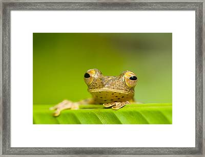 Borneo Red Flying Frog (rhacophorus Pardalis), Danum Valley, Primary Forest, Sabah, Borneo, Malaysia Framed Print by Berndt Fischer