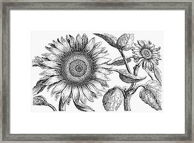 Botany: Sunflower Framed Print by Granger