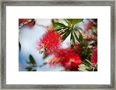 Bottle Brush Tree Framed Print by Yurix Sardinelly