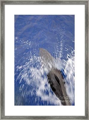 Bottle-nosed Dolphins  Framed Print by Sami Sarkis