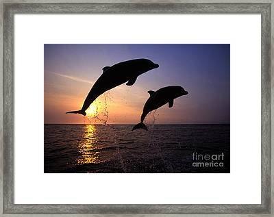Bottlenose Dolphins Framed Print by Francois Gohier and Photo Researchers