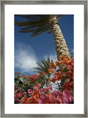 Bougainvillea Flowers Surround A Palm Framed Print by Richard Nowitz