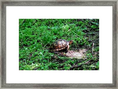 Box Turtle  Framed Print by The Kepharts