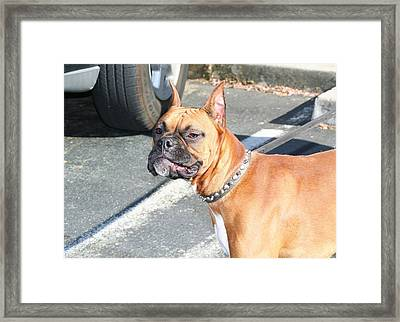 Boxer Dog Framed Print by Ritmo Boxer Designs