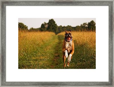 Boxer Dog Running Happily Through Field Framed Print by Stephanie McDowell