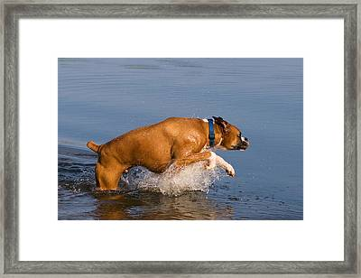 Boxer Playing In Water Framed Print by Stephanie McDowell