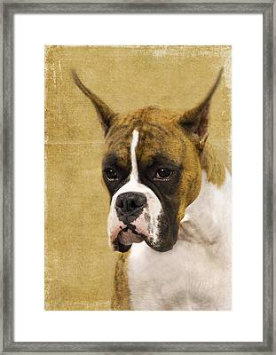 Boxer Framed Print by Rebecca Cozart