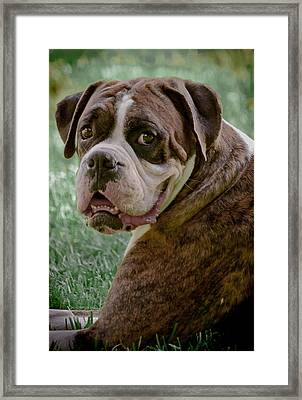 Boxer Smiles Framed Print by DigiArt Diaries by Vicky B Fuller