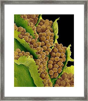 Bracken Spores, Sem Framed Print by Susumu Nishinaga