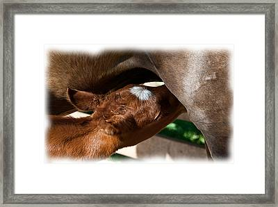 Brand New Colt..day Two Framed Print by Lisa Moore