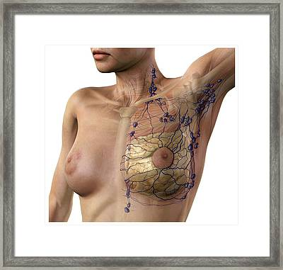 Breast Lymphatic System, Artwork Framed Print by D & L Graphics