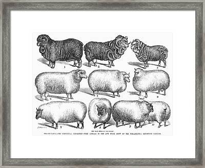 Breeds Of Sheep, 1876 Framed Print by Granger