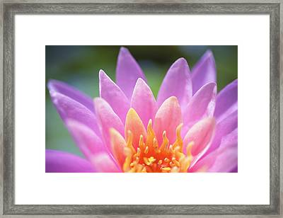Bright Pink Water Lily Framed Print by Kicka Witte