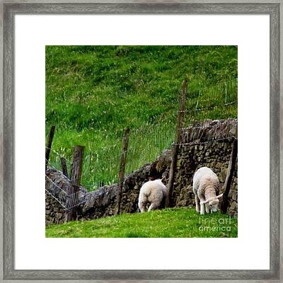 British Lamb Framed Print by Isabella Abbie Shores