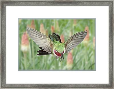 Broadtail Hummingbird Male And Red Hot Poker Framed Print by Gregory Scott