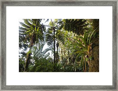 Bromeliad And Tree Ferns  Framed Print by Cyril Ruoso