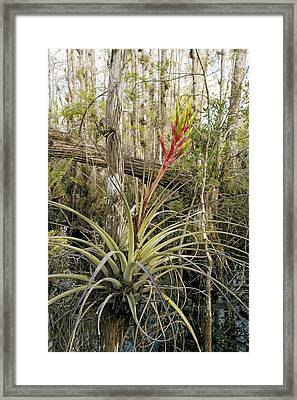 Bromeliad (tillandsia Fasciculata) Framed Print by Bob Gibbons