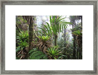 Bromeliads And Tree Ferns  Framed Print by Cyril Ruoso