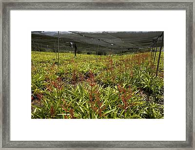 Bromeliads Being Cultivated Framed Print by Bob Gibbons