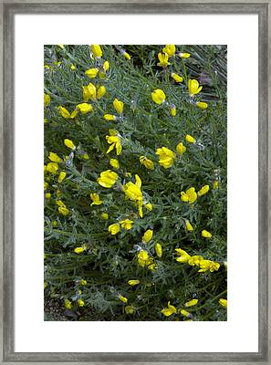 Broom (cytisus Fontanesii) Framed Print by Bob Gibbons