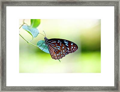 Brown Blue Butterfly Framed Print by Ingwervanille