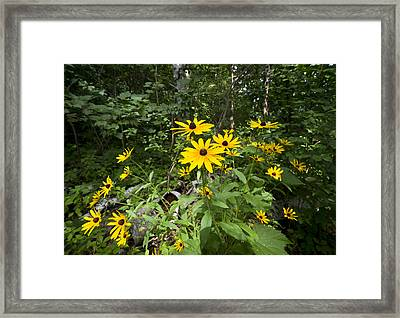 Brown-eyed Susan In The Woods Framed Print by Gary Eason