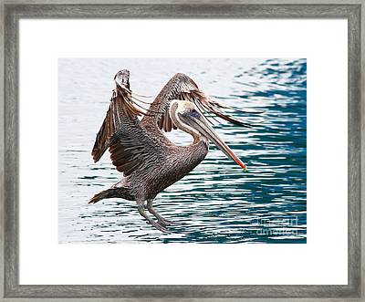 Brown Pelican . 7d8253 Framed Print by Wingsdomain Art and Photography