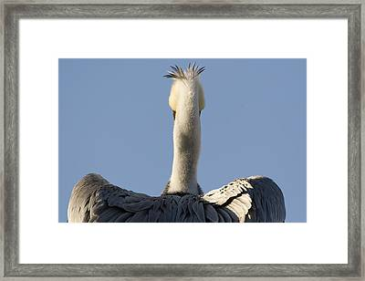 Brown Pelican Drying Its Wings Natural Framed Print by Sebastian Kennerknecht