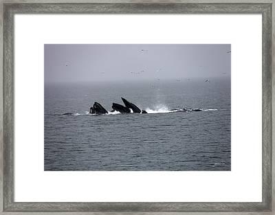 Bubble Netting Whales In Alaska Framed Print by Gary Gunderson