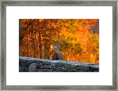 Buck In The Fall 01 Framed Print by Metro DC Photography