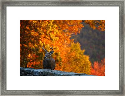 Buck In The Fall 03 Framed Print by Metro DC Photography