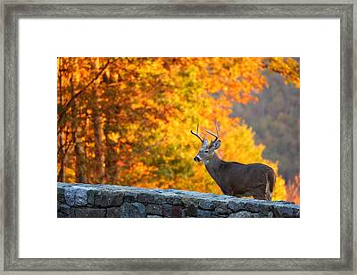 Buck In The Fall 06 Framed Print by Metro DC Photography