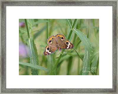 Buckeye Butterfly And Verbena 2 Framed Print by Robert E Alter Reflections of Infinity