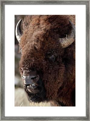 Bull Bison Framed Print by D Robert Franz