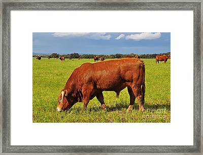 Bull In The Pasture Framed Print by Armando Carlos Ferreira Palhau