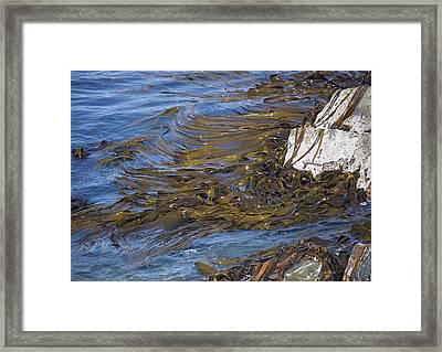 Bull Kelp Bed Framed Print by Bob Gibbons
