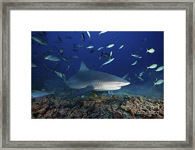 Bull Shark Surrounded By Reef Fish Framed Print by Terry Moore