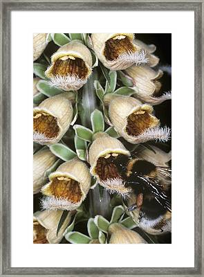 Bumble Bee Feeding Framed Print by Dr Jeremy Burgess