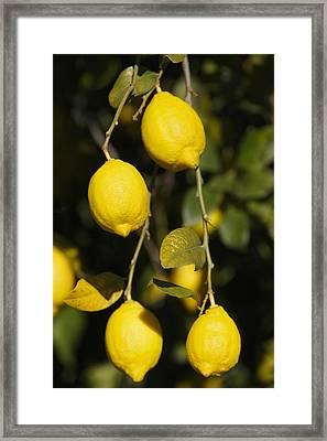 Bunch Of Lemons On Lemon Tree. Framed Print by Ken Welsh