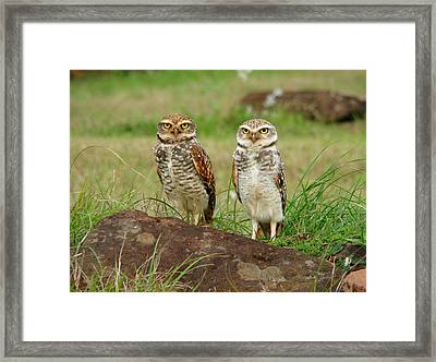 Burrowing Owl Framed Print by Antonello