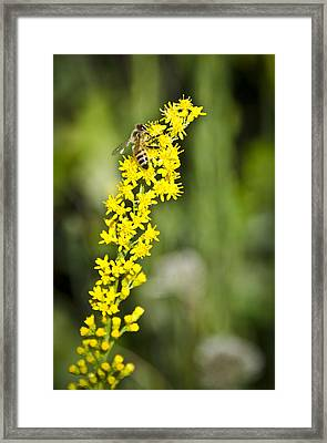Busy Bee On Yellow Wildflower Framed Print by Carolyn Marshall