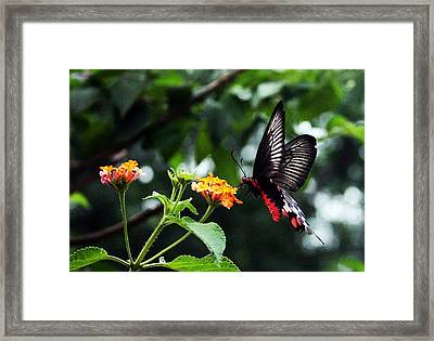 Butterflower Framed Print by Sanjay Avasarala